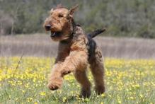 AIREDALE-TERRIER-069