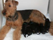 airedale-terrier-girl-and-her-puppies-wallpaper