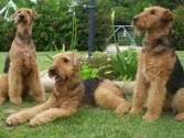 three-airedale-terriers-in-the-garden-picture