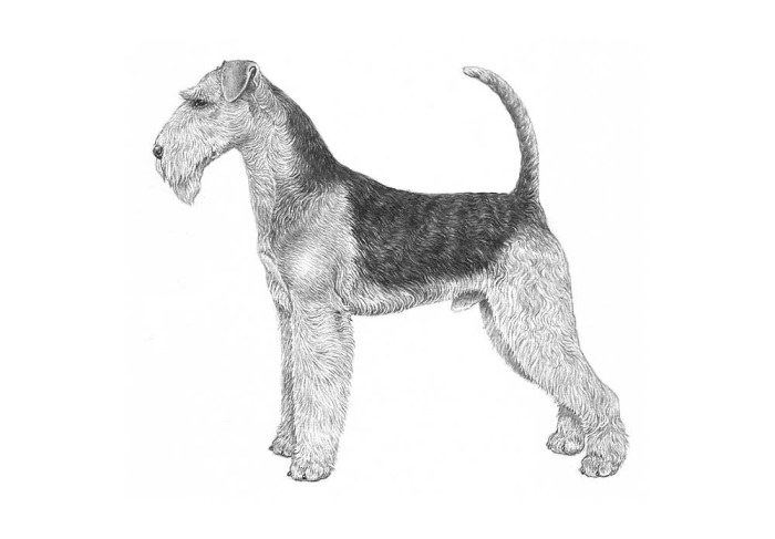 Airedale Terrrier FCI
